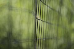 Narrow-minded (Howard L.) Tags: canon fence drops bokeh damselfly howd oaklandlake oaklandgardens 100mmf28lmacro 5dmiii howld