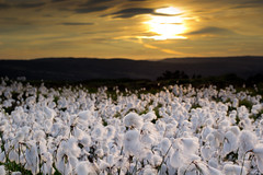 Cotton Grass on Ilkley Moor (Tom Eccles Photography) Tags: blue sunset sky grass cow yorkshire cotton valley moor calf ilkley dales wharfedale wharfe
