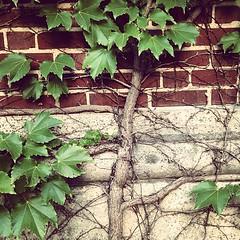 Boston ivy (WI Master Gardener Program) Tags: square vine squareformat brannan parthenocissus palmate tricuspidata iphoneography instagramapp uploaded:by=instagram