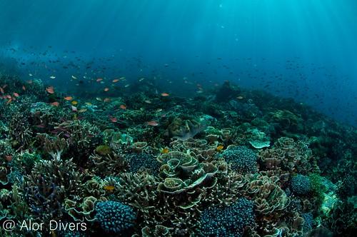 reef top Pantar island . Alor-divers.com
