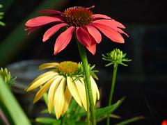 Ecchinacea, July 2013 (TyneWear-Rob) Tags: flowers plants plant flower 30 garden lumix july panasonic 100 50 75 2013 my ecchinacea dmcfz28 nix200