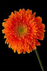 Gerbera naranja (roqberd) Tags: flores gerbera naranja