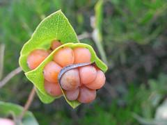 fruit (the incredible how (intermitten.t)) Tags: espaa berry menorca baleares lonicera minorca balearicislands illesbalears 17570 samesquida loniceraimplexa mediterraneanhoneysuckle 20131003