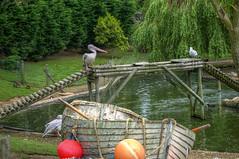 Stand Off ! (Rob Jennings2) Tags: seagull pelican isleofwight seaview iow seaviewwildlifeencounter