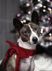 "12.12d Raisin ""The Best Present of All!"" (jezandia) Tags: christmas dog basenji raisin ldlnoir"