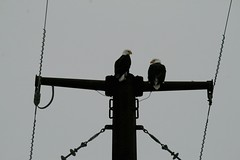 1/52 A Pleasant Place to Perch (Miss Marisa Renee) Tags: winter color bird animal animals digital canon outdoors colorado eagle wildlife colorphotography baldeagle january feathers overcast powerlines raptor perch perched mywork eagles raptors birdsofprey birdofprey digitalphotography 152 2014 52weeks canon400d canoneosxti 52weekchallenge marisarenee january2014