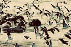 In Flight (Jason Bogs) Tags: ocean california winter sea seagulls bird beach water birds pacific bogs