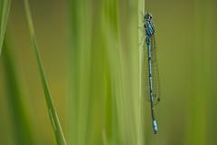 Coenagrion puella (Azure damselfly, azuurwaterjuffer) (Rob Blanken) Tags: macro dragonfly damselfly libellen azuredamselfly coenagrionpuella azuurwaterjuffer nikond800 sigma180mm128apomacrodghsm