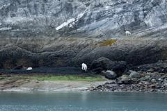 _MG_4329a (markbyzewski) Tags: alaska kids ugly mountaingoats glacierbaynationalpark
