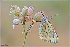 Aporia crataegi (alfvet) Tags: macro nikon ngc butterflies natura npc insetti farfalle sigma150 parcodelticino veterinarifotografi d5100