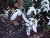 Going nearer (Julie70 Joyoflife) Tags: flowers london spring fevrier photostroll photojuliekertesz midfebruary springwalksinlondon springflowersinfebruary