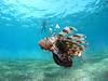 Lionfish are a very common encounter while diving in Naama Bay (Camel Dive Club) Tags: lionfish fishid naamabay