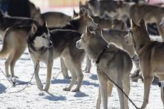 Sled Dog Race at Bad Gastein, Austria (sebastian.guettler) Tags: winter dog snow husky badgastein sportgastein sleddograce