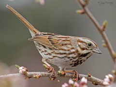 Crouching Song Sparrow (NYC Wild) Tags: nyc urban ny bird nature brooklyn song wildlife sparrow crouching b14 11232 canon7d