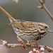 Crouching Song Sparrow