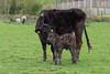 Cow and calf (Brian Negus) Tags: england cow spring unitedkingdom lakedistrict cumbria calf hawkshead lakedistrictcumbria