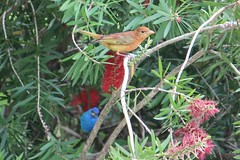 2014 04 25_3767_summer tanager and indigo bunting (nbc_2011) Tags: bird nature florida animalplanet tanager bunting planetearth summertanager indigobunting