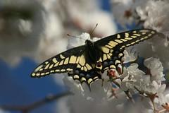 Montana butterfly. Julie Gothrup