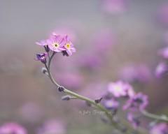 Daydreamin' (dog ma) Tags: pink flowers macro dogma forgetmenots thepinnaclehof jodytrappe tphofweek255