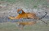 Bengal tiger (x2), Kanha Tiger Reserve, India (cirdantravels (Fons Buts)) Tags: india tiger tigre bengaltiger madhyapradesh pantheratigris kanhanationalpark bengaalsetijger flickrbigcats