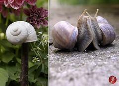 schnecken (bornschein) Tags: flower green nature animal germany garden fun grey spring flowerdyp
