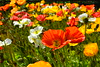 Poppies field (Eric - horse traveler) Tags: flowers color nature fleur poppy couleur coquelicots poppiesfield