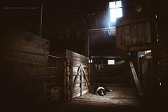 Australian sheep dog asleep on a shearing shed floor, Coomunga South Australia (Robert Lang Photography) Tags: ranch wood light dog pet sun sunlight texture wool animal barn work shine sheep farm sheepdog shed australian australia nopeople fujifilm sa bordercollie agriculture livestock shearingshed robertlang farmdog workingdog agribusiness eyrepeninsula coomunga robertlangportlincoln wwwrobertlangcomau robertlangaustralia coomungasouthaustralia fujifilmx100t fujix100t robertlangsouthaustralia australiansheepdogasleeponashearingshedfloorcoomungasouthaustralia australiansheepdogasleeponashearingshedfloor workingfarmdog