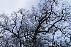 tree (Jos Mecklenfeld) Tags: schnee winter snow tree netherlands forest walking oak hiking wandelen walk sony sneeuw nederland sigma hike boom groningen bos wald baum wandern olanda eik niederlande eiche terapel nex copac 3n westerwolde sigmalens zpad iarn pdure stejar nex3 sonynex laea2 sonylaea2 nex3n sonynex3n