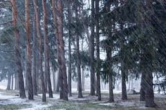 Snowing in Pines (marylea) Tags: trees winter snow snowy explore pines pinetrees jan20 2015 snowfalling explored