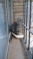 Krilin 12 (Asociacin Defensa Felina de Sevilla) Tags: espaa sevilla gatos felinos animales gatitos adoptar protectora adopciones apadrinar gatosurbanos defensafelina asociacindeanimales coloniasdegatos proteccindegatos activismoporlosanimales