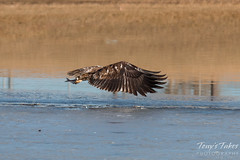 Juvenile Bald Eagle Dashes and Dines - 3 of 6