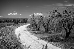 Bucolic Tuscan path (Franck_Michel) Tags: bw sun white black tree soleil countryside nw noir path olive peaceful campagne blanc chemin olivier paisible