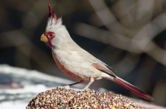 """King of the Hill""... Pyrrhuloxia -- Male (Cardinalis sinuatus); Catalina, AZ [Lou Feltz] (deserttoad) Tags: arizona bird nature fauna desert wildlife pyrrhuloxia wildbird"