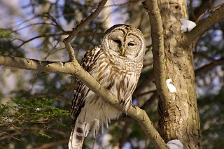 2015_0215Barred-Owl0010
