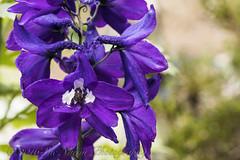 Delphinium (sue_nurmi) Tags: garden purple delphinium deptoffield