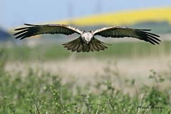 MARSH HARRIER / ELMLEY MARSHES / KENT / U.K (Tom Webzell) Tags: naturethroughthelens