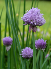 Chive blossoming (Myk499 - Pure & Simple.) Tags: flowers food plant nature closeup petals flora focus dof blossom outdoor chive depthfield nikond3300 myk499 nikkor1855mmvrii