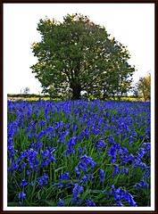 View large :-) (stu.bloggs..Dont do Sundays) Tags: blue light portrait flower colour tree bluebells contrast landscape spring focus may foliage sycamore wildflower 2016