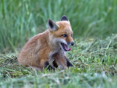 Red Fox Kit (Brian E Kushner) Tags: red baby nature animals de ed mammal nikon wildlife landing national fox bombay kit delaware pup hook nikkor whitehall smyrna vr afs d5 refuge redfox vulpesvulpes delware 200500mm nikond5 smryna bombayhooknationalwildliferefuge bkushner whitehallcrossroads bombaynwr whitehalllandingde f56e brianekushner nikonafsnikkor200500mmf56eedvr