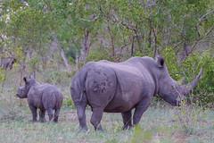 Suedafrika-20 (Lukas P Schmidt) Tags: nationalpark krugerpark nashorn