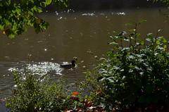 Auf dem Neckar rund um die Platanenallee auf der Neckarinsel in Tbingen (eagle1effi) Tags: germany deutschland tuebingen tbingen tubingen wrttemberg platanen eagle1effi dibenga