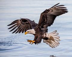 Concentration (Andy Morffew) Tags: alaska fishing baldeagle approach kachemakbay feetout andymorffew morffew
