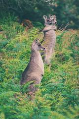 whatcha starin' at? (lucidddreamin') Tags: autumn green bush colours wildlife australia victoria kangaroo lush kangaroos roo greateastern capeschanck bushrangersbay
