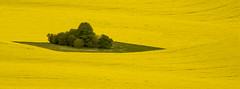 Yellow Field (Jon and Sian Bishop) Tags: may 2016 spring windy warm sun sunny canon canoneos550d eos550d eos 550d england uk wiltshire field rapeseed rolling flowers patch green tree bush alone colour color yellow landscape outdoor view meadow