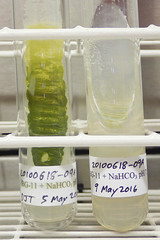 ORNG0703 (David J. Thomas) Tags: culture cave algae microbiology slant agar cyanobacteria phycology lyoncollege bg11 photobiont phycobiont