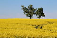 Canola In Bloom (Been Around) Tags: austria sterreich spring europa europe eu raps obersterreich europeanunion autriche canola austrian frhling aut rapsfeld o  upperaustria badhall rapeseedfield a canolainbloom onlyyourbestshots img1587 expressyourselfaward pesendorf