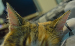 Orejas (siinestesiia) Tags: pet beauty cat hair bedroom kitten kitty ears cutie gata catears gatita
