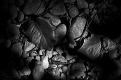 IMG_0017 On the Right Path (oldimageshoppe) Tags: blackandwhite leaves spring sticks riverrocks sunandshadows