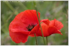 * (Dit is Suzanne) Tags: summer flower netherlands walk nederland zomer poppy groningen berm reitdiep papaver wandeling bloem    views50   canoneos40d img9320  ditissuzanne 11062016