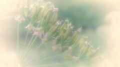 A voiceless song in an ageless light (babs van beieren) Tags: pink flower green dof dream romantic softfocus damme